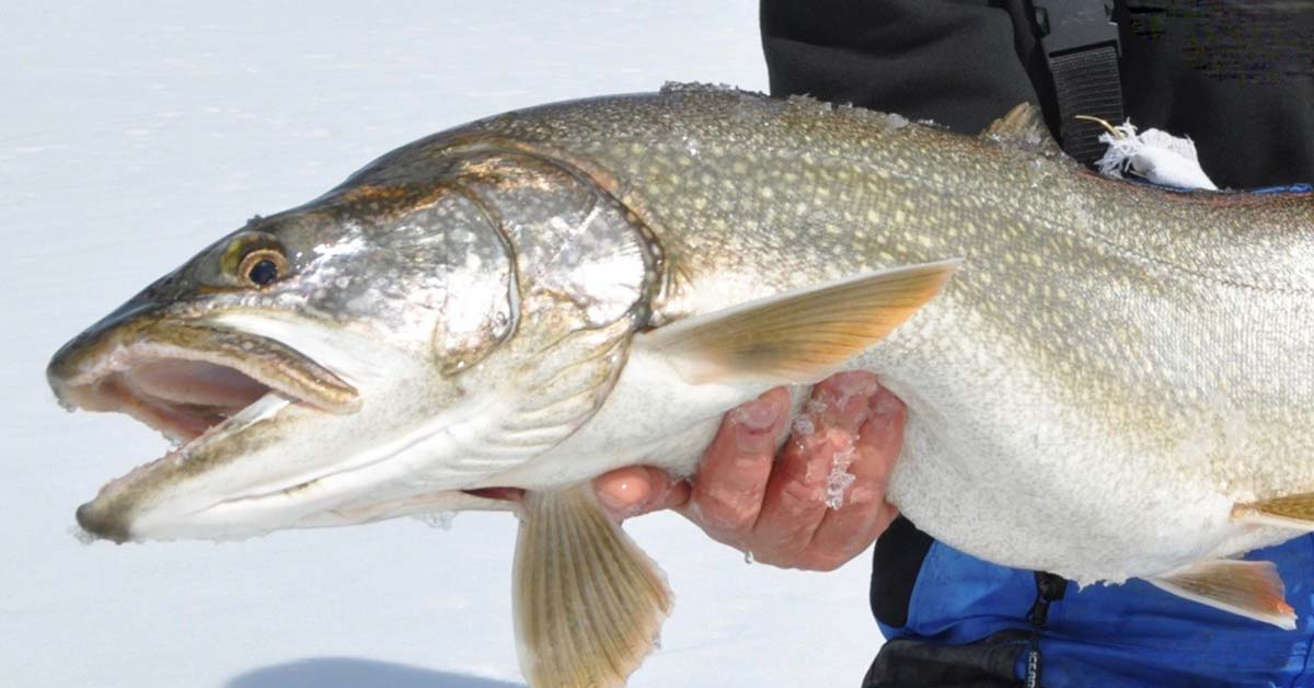 Webinar: Improve Your Lake Trout Ice Fishing Tactics